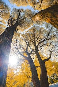 雰囲気のある秋の風景。黄色い秋の木の枝の冠のボトムアップビュー。森のてっぺんの背景。