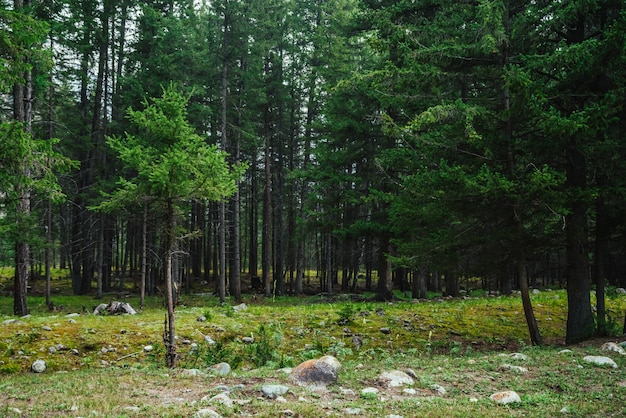 Atmospheric forest scenery with meadow with stones among firs in mountains.