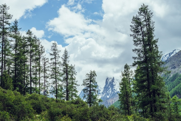 Atmospheric nature scenery with great beautiful snowy mountains behind coniferous forest under cloudy sky. dramatic landscape with big mountain peak with glacier behind green fir tops in overcast day.
