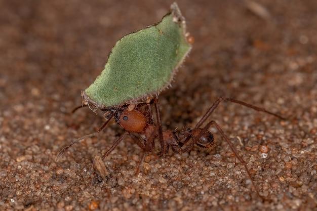 Atta leaf-cutter ant of the genus atta working