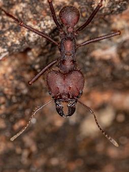 Atta leaf-cutter ant of the genus atta