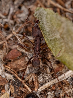 Атта муравей-листорез из рода атта