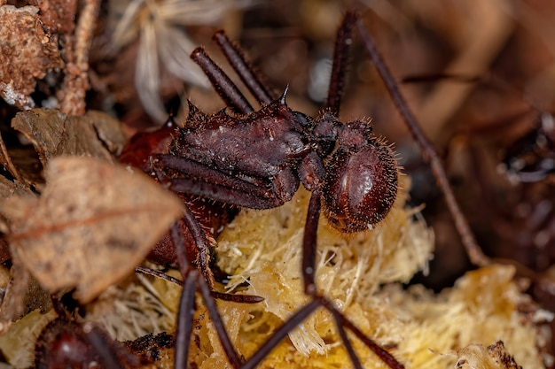 Atta leaf-cutter ant of the species atta laevigata eating a palm fruit that fell to the ground