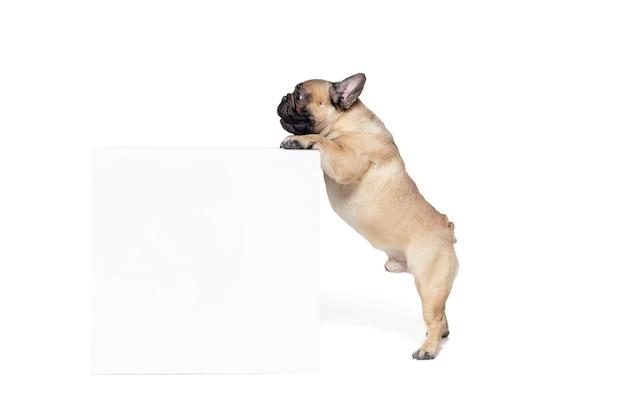 気をつけた。若いフレンチブルドッグがポーズを取っています。かわいい犬やペットは、白い背景で隔離されて遊んで、走って、幸せそうに見えます。スタジオ写真撮影。動き、動き、行動の概念。コピースペース。