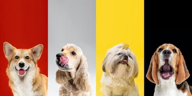 注意。スタイリッシュな愛らしい犬のポーズ。かわいいわんわんやペットが幸せです。さまざまな純血種の子犬。色とりどりのスタジオの背景に分離された創造的なコラージュ。正面図。異なる品種。 Premium写真