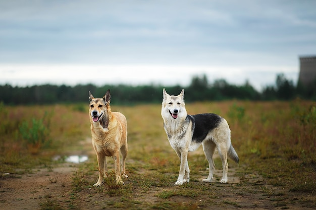 Attentive alert brown and grey mongrel dogs standing together on rural dirt road among field