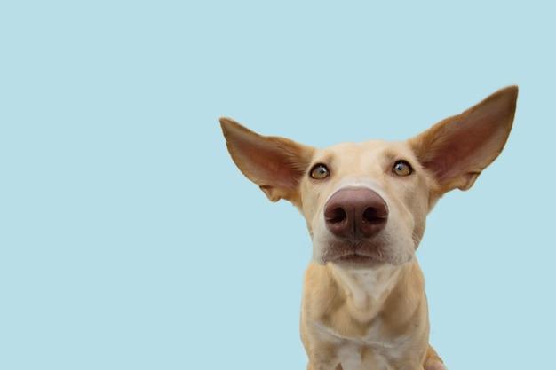 Внимательный и слушающий щенок гончей собаки с большими ушами.