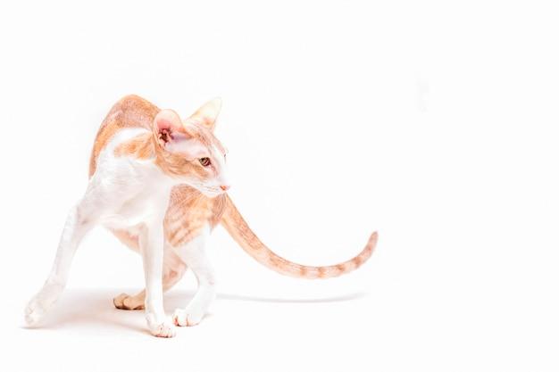 Внимательный котенок rex cat, стоящий на белом фоне