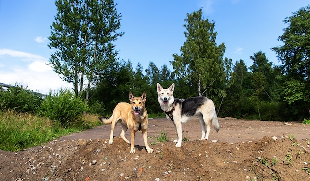 Внимательные собаки, стоящие на сельской грязной дороге