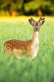Внимательный олень лани смотрит в камеру на поле в вертикальной композиции