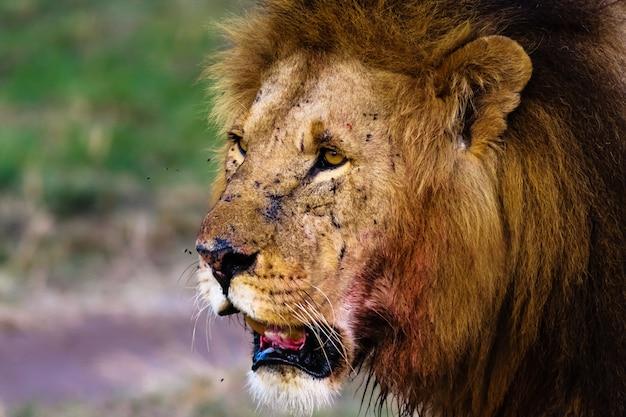 Внимательный взгляд льва. масаи мара, кения