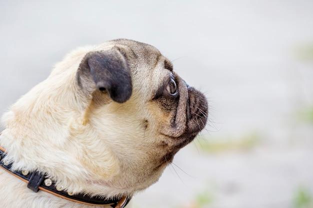 Attractive adorable bulldog puppy portrait in profile