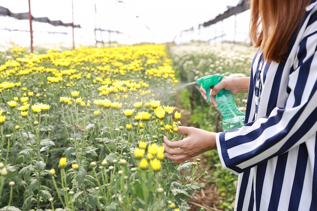 Attractive asian woman spraying chrysanthemum flowers farm