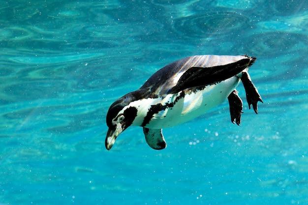 動物園で水泳をしているウミスズメ