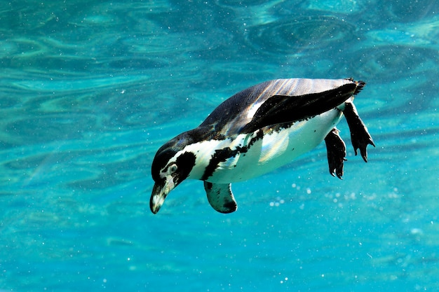 Auk swimming in water in a zoo
