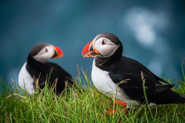 Дикая атлантическая тупица морских птиц в семье auk.