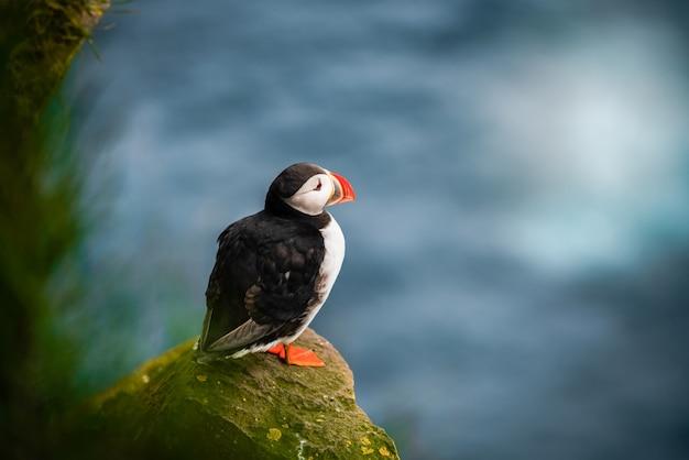 Дикая атлантическая морская птица тупик в семье auk.