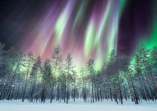 Aurora borealis over pine forest on snow
