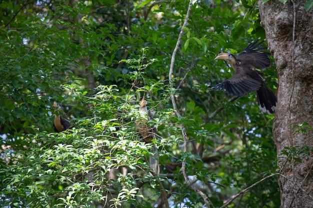 Коричневая птица-носорог остин (самец) летающая кормит пищей в естественных полостях. , национальный парк khao yai таиланд.