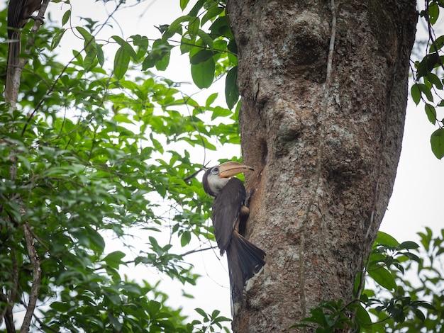 Коричневая птица-носорог остин, взрослая птица-носорог, садящаяся на насест после кормления, национальный парк кхаояи, таиланд