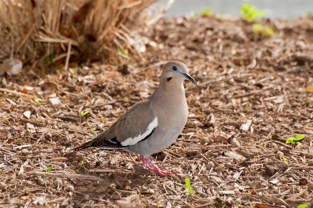 Остин техас белоголовый голубь zenaida asiatica на земле