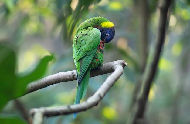 オーストラリア緑色の虹の野生のオウムまたはlorikeet