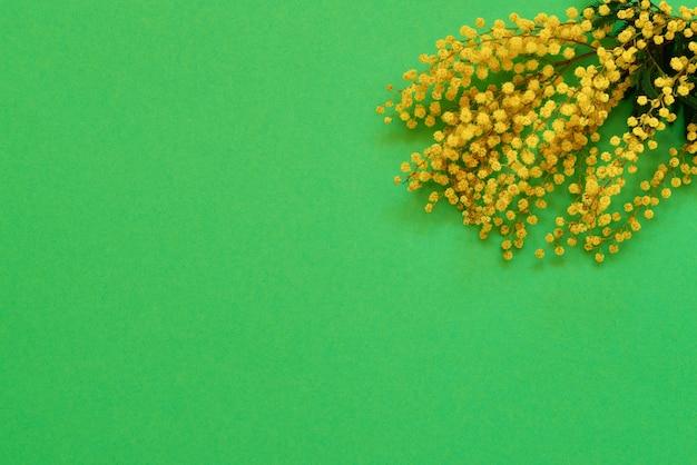 Ветвь австралийской акации или мимозы на зеленом