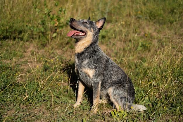 Австралийский голубой хиллер сидит на траве. собака в летнем поле. австралийская пастушья собака. в ожидании еды.