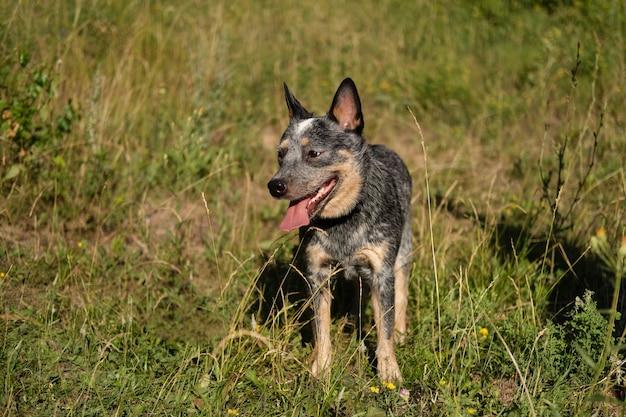 Австралийский голубой хиллер стоит на траве. собака в летнем поле. прогулка в парке. австралийская пастушья собака. хочет играть.