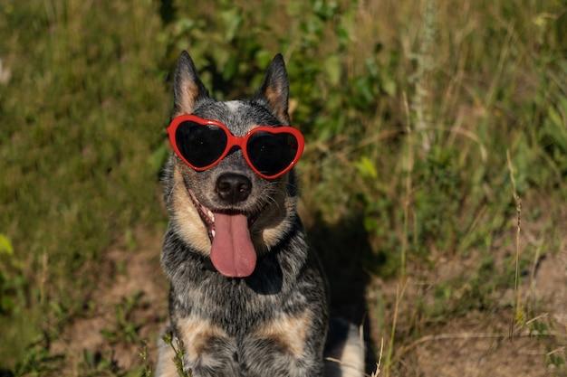 호주 블루 힐러는 잔디에 하트 선글라스를 끼고 행복한 개를 웃고 있습니다. 발렌타인 데이. 생일 축하해. 여름 분위기입니다. 여름 필드에 개입니다. 호주 소 개. 확대. 개 얼굴.