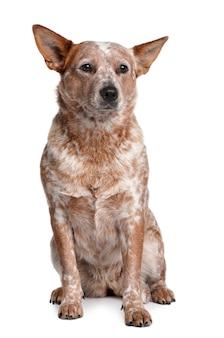 Австралийская пастушья собака, 2 года, сидя