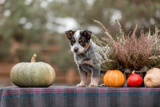 オーストラリアンキャトルドッグの子犬屋外。裏庭の子犬