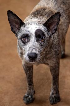 Портрет щенка австралийской пастушьей собаки