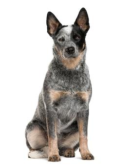 Австралийская пастушья собака сидит перед белой стеной