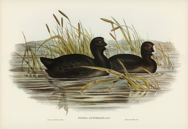 Australian coot (fulica australis) illustrated by elizabeth gould
