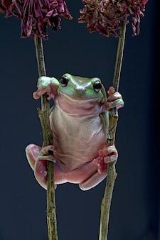 Australian green tree frog on black background