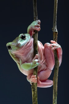 Australian green tree frog on black background