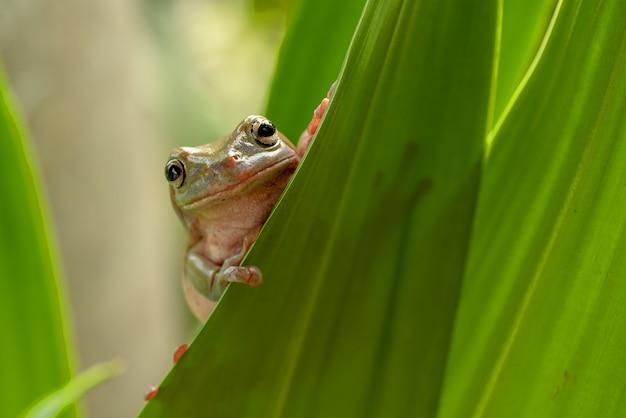 Australian green tree frog hiding in the bush
