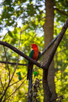 호주 왕 앵무새, alisterus scapularis