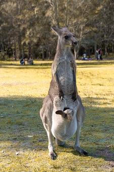 Австралийский красный кенгуру в дикой природе