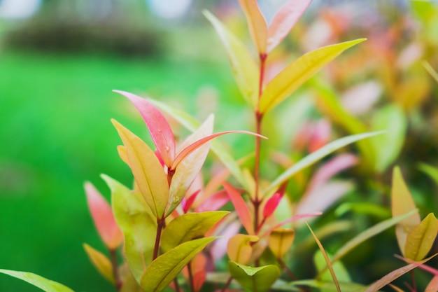 Australian rose apple/brush cherry/creek lily pilly/creek satinash in the garden.