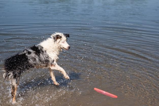 Австралийская овчарка блю-мерль играет и прыгает с летающей тарелкой летом в реке. всплеск воды. развлекайтесь с домашними животными на пляже. путешествуйте с домашними животными.
