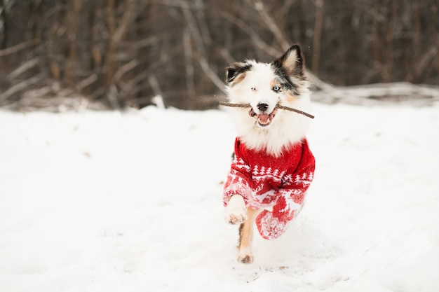 Australian shepherd in christmas sweater running in winter forest with stick.