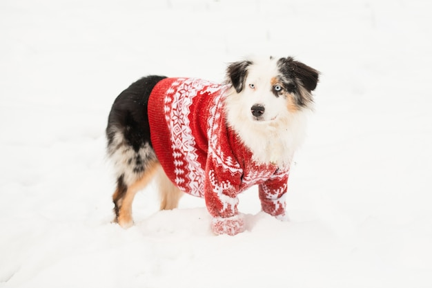 Australian shepherd in christmas sweater standing in winter forest. creative, crazy christmas. high quality photo