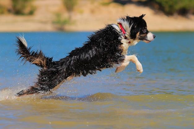 Australian shepherd diving