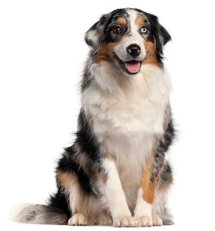 オーストラリアンシェパードの犬、1歳、