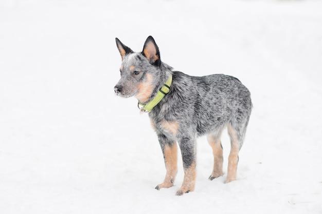 Австралийская овчарка и снегопад.