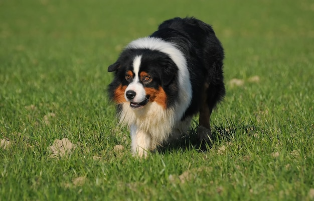 Australian shepherd dog in the meadow