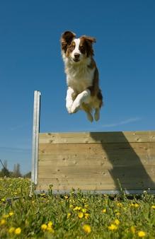 Австралийская овчарка прыгает через забор