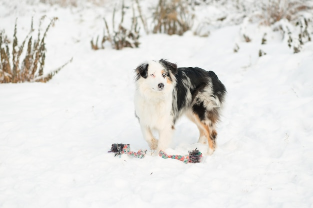 Australian shepherd playing with toy. winter forest